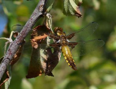 libellule déprimée femelle A