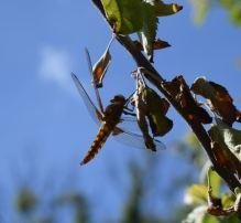 libellule déprimée femelle C