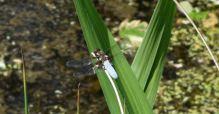 libellule déprimée mâle A