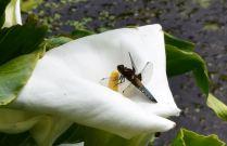 libellule déprimée mâle B