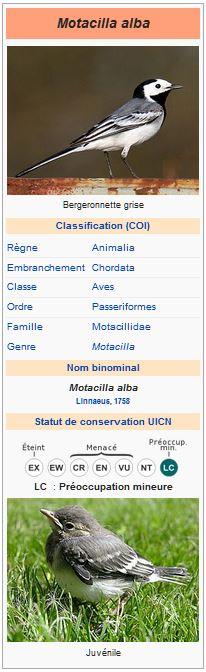 Capture bergeronnette grise