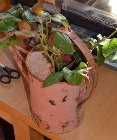 Laisser tremper vos tiges avant de les replanter.