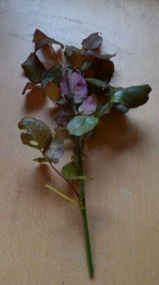 Choisir une tige de l'année ayant terminé de fleurir.