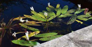aponogeton en fleurs