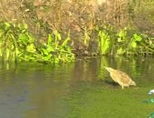 butor étoilé dans l'étang