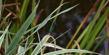Caloptéryx splendens mâle.