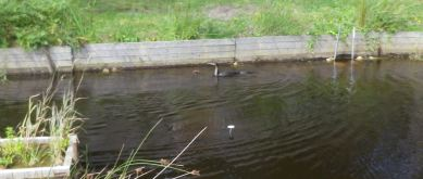 Cormoran dans l'étang
