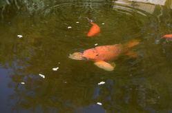 koi dans bassin