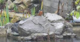 Beau mâle près du bassin n°1.