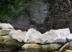 rat vivant dans l'étang