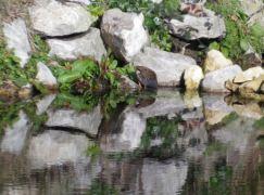 râle d'eau avec la tête dans l'eau