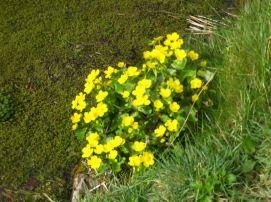 Populage au printemps