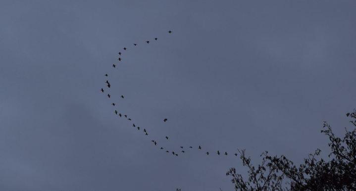 volée de cormoran ambleteuse nature