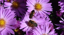 abeilles1