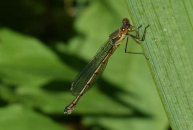Chalcolestes viridis (merci Michel)