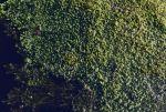 élodée dans l'étang