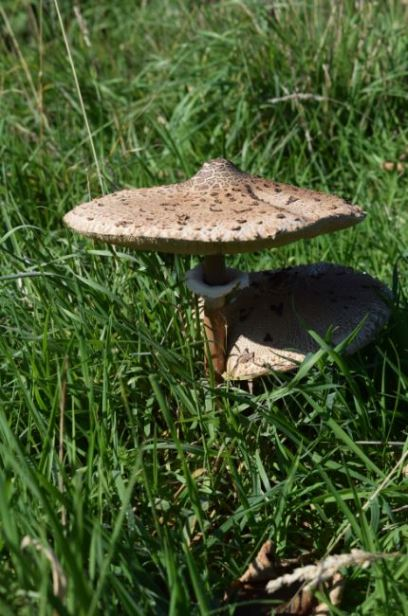 champignon 17