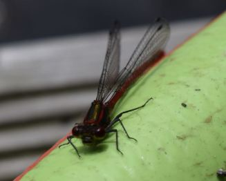 Pyrhosoma nymphula (merci N Devezeaux)