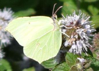 gonepteryx rhamni 1