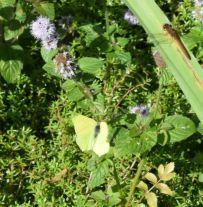 gonepteryx rhamni 3