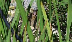 Jeune lapin camouflé vu de près