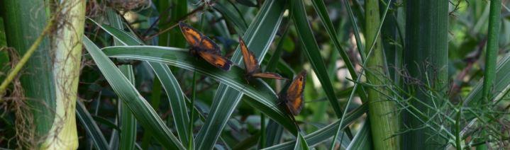 papillons amaryllis
