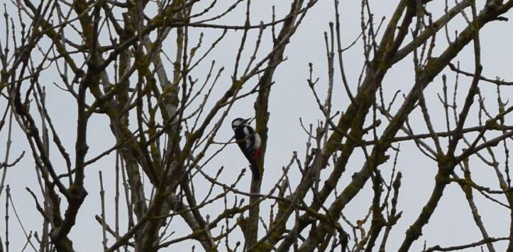 pic épeiche dans arbre en hiver