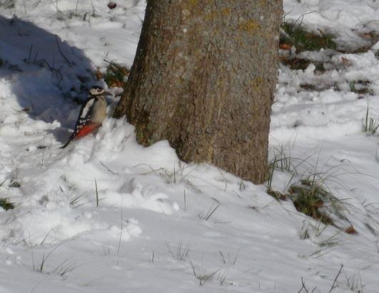 pic epeiche dans la neige