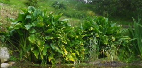 arum en feuilles