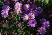 aster d'automne en début de floraison