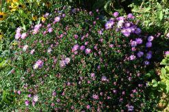 aster d'automne en tout début de floraison