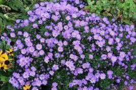 aster d'automne entièrement fleurie