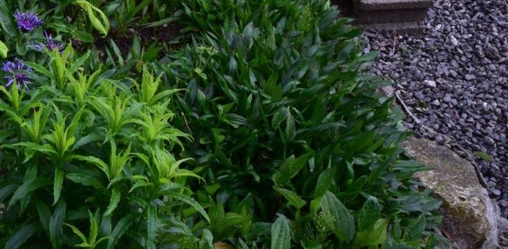 aster en feuilles