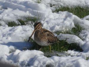 bécassine dans la neige