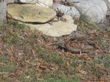 bécassine mimétisme avec les feuilles mortes