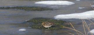 bécassine sur étang gelé