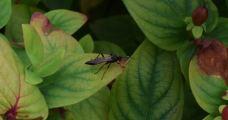 Ichneumonidae (merci Michel)