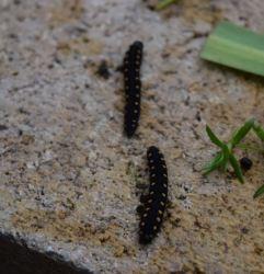 larve de Tenthredo marginella (merci Michel)