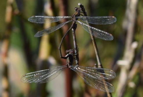 Lestidae, peut-être encore Chalcolestes viridis (Michel)
