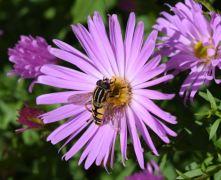 Diptère Syrphidae : Helophilus pendulus. (Michel)