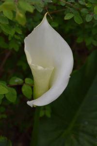 fleur d'arum blanc