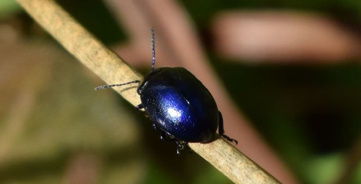chrysolina herbacea 1