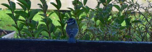 mesange bleue 3