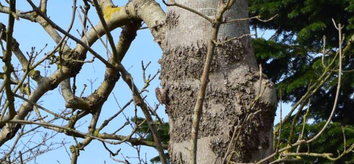 Grimpereau des jardins 2 Ambleteuse Nature 2016