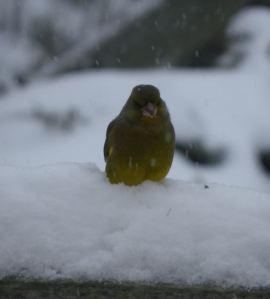 Verdier dans la neige Ambleteuse Nature 2013