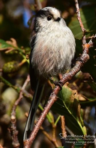 mésange à longue queue (2)