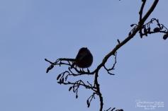 mesange-a-longue-queue-4